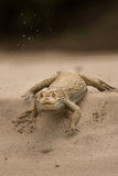 Dziki caiman w natury siedlisku zdjęcia royalty free