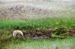 Dziki canid pić w północnej łące Fotografia Royalty Free