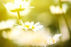 Dziki chamomile Fotografia Royalty Free