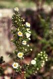 dziki chamomile w polu Zdjęcie Stock