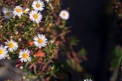 Dziki chamomile z naturalnym tłem Fotografia Stock