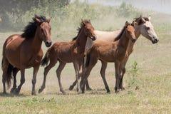Dziki Chincoteague koników obława Zdjęcie Royalty Free