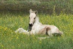 Dziki Chincoteague konik - nowy źrebię Zdjęcie Stock