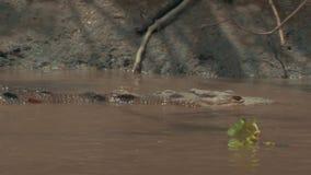 Dziki Costa Rica krokodyl zbiory wideo