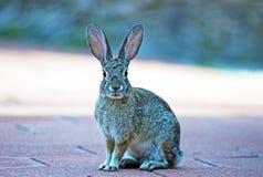 Dziki Cottontail królik Obrazy Stock