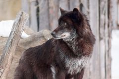 Dziki czarny kanadyjski wilk jest przyglądający dla jego nowej ofiary Fotografia Royalty Free