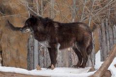 Dziki czarny kanadyjski wilk jest przyglądający dla jego nowej ofiary w zima lesie Zdjęcie Stock