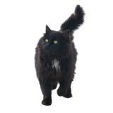 dziki czarny kot Obrazy Royalty Free