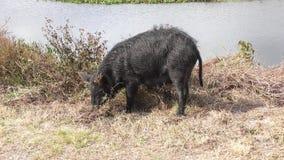 Dziki czarny wieprz karmi wewnątrz bagna zbiory
