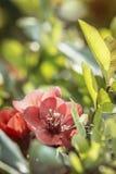 Dziki czerwieni róży kwiat Zdjęcia Royalty Free