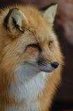 Dziki Czerwony Fox Stawia czoło Obraz Stock