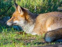 Dziki czerwony lis zdjęcie royalty free