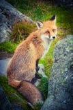 Dziki czerwony lis Fotografia Royalty Free