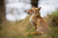 Dziki czerwony lis Zdjęcia Stock