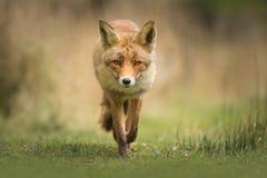 Dziki czerwony lis zdjęcia royalty free
