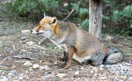 Dziki czerwony lis Zdjęcie Stock