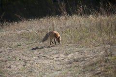 Dziki czerwony lis na łące Fotografia Stock