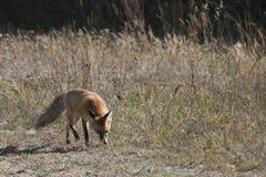 Dziki czerwony lis na łące Zdjęcia Royalty Free