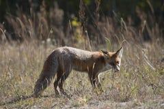 Dziki czerwony lis na łące Obraz Stock