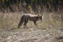 Dziki czerwony lis na łące Obrazy Stock
