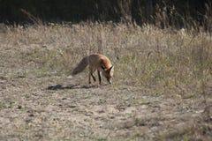 Dziki czerwony lis na łące Zdjęcie Stock