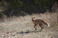 Dziki czerwony lis na łące Fotografia Royalty Free