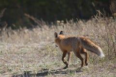 Dziki czerwony lis na łące Zdjęcie Royalty Free