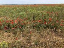 Dziki czerwony maczek na zielonej trawy polu fotografia royalty free