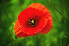 Dziki czerwony makowy kwiat Obraz Stock
