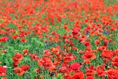 Dziki czerwony makowy kwiat w łąkowej wiośnie zdjęcie stock