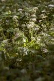 Dziki czosnek, Allium ursinum, (okupy) Obraz Royalty Free