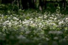 Dziki czosnek kwitnie w starym lesie Obrazy Royalty Free