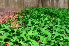 Dziki czosnek w lesie Fotografia Stock