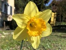 Dziki daffodil lub Pożyczający leluja narcyza pseudonarcissus, Gelbe Narzisse, Osterglocke Oder Osterglöckchen obraz stock