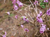 Dziki daphne, raj roślina Daphne Mezereum zamknięty w górę strzału zdjęcia stock