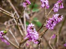 Dziki daphne, raj roślina Daphne Mezereum zamknięty w górę strzału obrazy stock