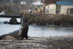 Dziki denny lew na wybrzeżu Galapagos wyspa Zdjęcia Royalty Free