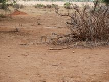 Dziki Dik dik safari Tarangiri, Ngorongoro w Afryka, - Obraz Royalty Free
