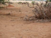 Dziki Dik dik safari Tarangiri, Ngorongoro w Afryka, - Zdjęcia Royalty Free