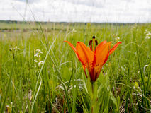 Dziki Drewnianej lelui kwiat W obszarach trawiastych Na Alberta równinach Obraz Stock