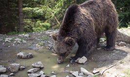 Dziki duży męski brown niedźwiedź Zdjęcia Royalty Free