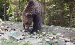 Dziki duży męski brown niedźwiedź Zdjęcia Stock