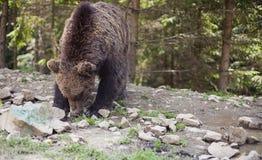 Dziki duży męski brown niedźwiedź Obraz Stock