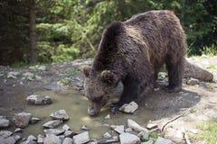 Dziki duży męski brown niedźwiedź Obrazy Stock