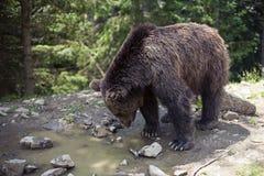 Dziki duży męski brown niedźwiedź Obraz Royalty Free