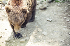 Dziki duży męski brown niedźwiedź Fotografia Stock