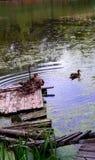 Dziki duck& x27; s rodzina na jeziorze w lecie Obraz Royalty Free
