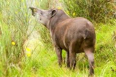 Dziki Żeński Halny tapir Zdjęcie Royalty Free