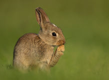 Dziki Europejskiego królika Oryctolagus cuniculus, juveni Zdjęcia Royalty Free