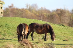 Dziki Exmoor konik w holandiach Fotografia Stock